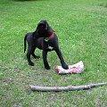 Mój jest ten kawałek kości! #Orion #pies #szczeniak