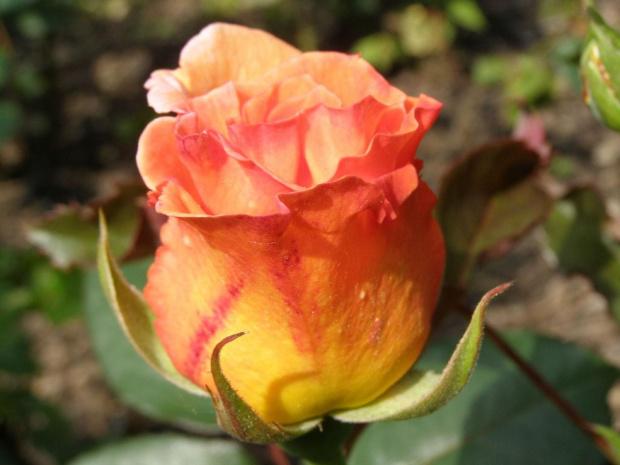 Nieco dumnie sobie rosła - kolorowa i wyniosła :) #kwiaty