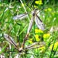 #komar #natura #owady #przyroda