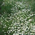 Rumianki polne #kwiaty #rumianki