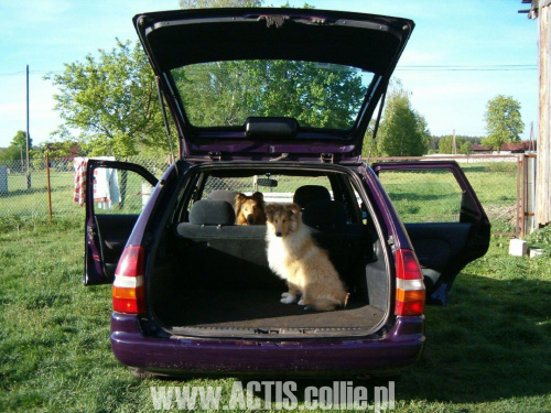 Psy w samochodzie