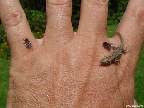 ...polowanie na muchy... #jaszczurka #muchy