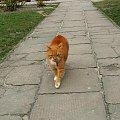 Drapieżnik kieruje się w moją stronę #Puławy #kot #koty