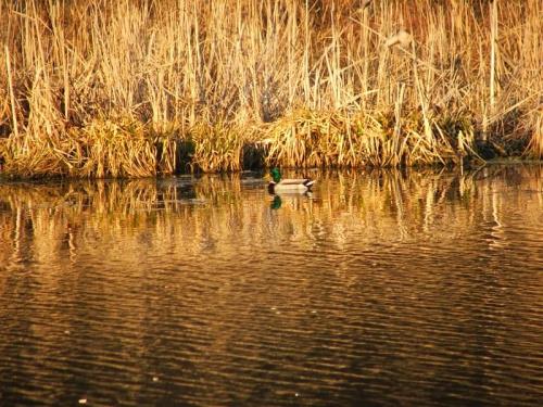 Kaczka w parku #kaczka #kaczki #ptak #ptaki #Puławy
