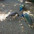 lekcja całowania, #pawie #Hawaje #Maui #Hana #natura