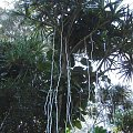 liany się spuszczały na ścieżkę i nas smyrały, #pawie #Hawaje #Maui #Hana #natura