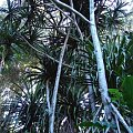 palmy już wcześniej spotykane, #pawie #Hawaje #Maui #Hana #natura