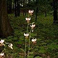 Uroki przyrody #DolnyŚląsk #jawor #myślibórz #krajobraz #przyroda #WąwózMyśliborski #rataj #rośliny #LiliaZłotogłów