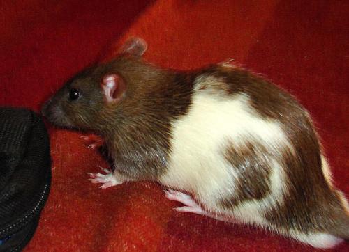 szczurek MaLaGi :>